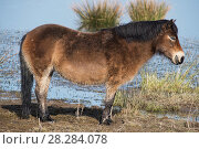 Купить «Exmoor pony (Equus ferus caballus) used on Nature Reserves in Northumberland to improve wetland habitat by eating rank vegetation and breaking up the muddy...», фото № 28284078, снято 23 мая 2018 г. (c) Nature Picture Library / Фотобанк Лори