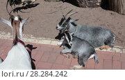 Купить «Козы в загоне», видеоролик № 28284242, снято 8 февраля 2018 г. (c) Кекяляйнен Андрей / Фотобанк Лори