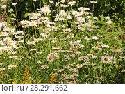 Купить «Ромашки на лугу», эксклюзивное фото № 28291662, снято 12 июня 2011 г. (c) Юрий Морозов / Фотобанк Лори