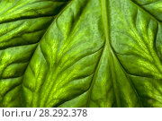 Green natural background, texture - a wide leaf surface of a tropical plant. Стоковое фото, фотограф Евгений Харитонов / Фотобанк Лори
