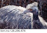 Купить «Эму. Emu.», фото № 28296474, снято 8 апреля 2018 г. (c) Галина Савина / Фотобанк Лори