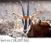 Купить «Чёрная антилопа. Sable antelope», фото № 28297562, снято 22 февраля 2017 г. (c) Галина Савина / Фотобанк Лори