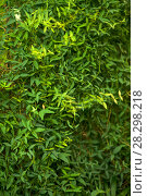 Green floral background - wall covered with creeping plant with small leaves. Стоковое фото, фотограф Евгений Харитонов / Фотобанк Лори