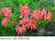 Купить «The Japanese red deciduous rhododendron (Rhododendron molle japonicum)», фото № 28304926, снято 12 июня 2017 г. (c) Ольга Сейфутдинова / Фотобанк Лори