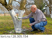 Купить «Мужчина-садовод белит ствол фруктового дерева. Весенние работы в саду», фото № 28305154, снято 14 апреля 2018 г. (c) Ирина Борсученко / Фотобанк Лори