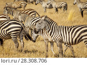 Zebras in the Serengeti National Park, Tanzania. Plains zebra (Equus quagga, formerly Equus burchellii), also known as the common zebra or Burchell's zebra. Стоковое фото, агентство BE&W Photo / Фотобанк Лори