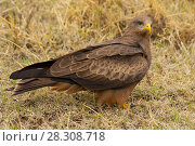 Купить «The black kite (Milvus migrans) a medium-sized bird of prey, Nogorongoro Crater Tanzania», фото № 28308718, снято 17 декабря 2018 г. (c) BE&W Photo / Фотобанк Лори