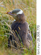 Купить «Yellow-eyed penguin (Megadyptes antipodes) Otago Peninsula, South Island, New Zealand», фото № 28308770, снято 19 апреля 2019 г. (c) BE&W Photo / Фотобанк Лори