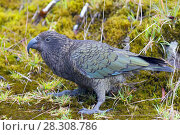 Купить «The kea (Nestor notabilis), a large species of parrot of the family Strigopidae found in forested and alpine regions of the South Island of New Zealand», фото № 28308786, снято 19 апреля 2019 г. (c) BE&W Photo / Фотобанк Лори