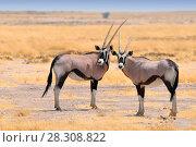 Two beautiful male Gemsboks (Oryx gazella) in the savannah of Etosha National Park in Namibia. Стоковое фото, агентство BE&W Photo / Фотобанк Лори