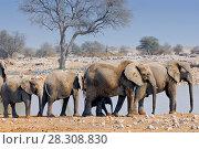 African elephants at waterhole in Okaukuejo, Etosha National Park, Namibia. Стоковое фото, агентство BE&W Photo / Фотобанк Лори