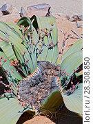 Купить «Welwitschia (Welwitschia mirabilis) plant growing in the hot arid Namib Desert of Angola and Namibia», фото № 28308850, снято 24 октября 2019 г. (c) BE&W Photo / Фотобанк Лори