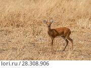 Купить «Male Kirk's dik-dik from Okavango Delta, Botswana», фото № 28308906, снято 21 августа 2019 г. (c) BE&W Photo / Фотобанк Лори