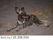 Купить «Night photo of the African wild dog (Lycaon pictus), a canid native to Sub-Saharan Africa, Okavango Delta, Botswana», фото № 28308934, снято 21 октября 2019 г. (c) BE&W Photo / Фотобанк Лори