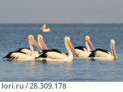 Купить «The Australian pelicans (Pelecanus conspicillatus) is a large waterbird of the family Pelecanidae, Coorong National Park Australia», фото № 28309178, снято 16 января 2019 г. (c) BE&W Photo / Фотобанк Лори