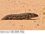 Купить «Tiliqua rugosa (Eastern Shingleback) is a short-tailed, slow moving species of blue-tongued skink found in Australia. Coorong National Park Australia.», фото № 28309182, снято 24 января 2019 г. (c) BE&W Photo / Фотобанк Лори