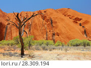 Купить «Dry tree stand in front of Uluru (Ayer's Rock) in Uluru-Kata Tjuta National Park Australia», фото № 28309194, снято 27 июня 2019 г. (c) BE&W Photo / Фотобанк Лори