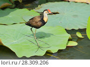 Купить «The comb-crested jacana (Irediparra gallinacea), also known as the lotusbird or lilytrotter, Kakadu National Park Australia», фото № 28309206, снято 21 августа 2019 г. (c) BE&W Photo / Фотобанк Лори