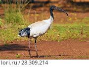 Купить «The Australian white ibis (Threskiornis molucca) is a wading bird of the ibis family, Kakadu National Park Australia», фото № 28309214, снято 17 августа 2018 г. (c) BE&W Photo / Фотобанк Лори