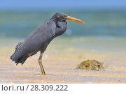 Купить «The Pacific reef heron (Egretta sacra), also known as the eastern reef heron or eastern reef egret», фото № 28309222, снято 26 марта 2019 г. (c) BE&W Photo / Фотобанк Лори