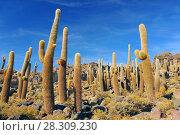 Купить «Giant cactus on the Isla del Pescado (Fish Island) on Salar de Uyuni, Potosi Bolivia», фото № 28309230, снято 14 ноября 2018 г. (c) BE&W Photo / Фотобанк Лори