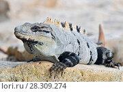 Купить «Ctenosaura similis, commonly known as the black spiny-tailed iguana, black iguana, or black ctenosaur, is a lizard native to Mexico and Central America. Tulum Mexico.», фото № 28309274, снято 11 декабря 2019 г. (c) BE&W Photo / Фотобанк Лори