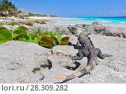Купить «Ctenosaura similis, commonly known as the black spiny-tailed iguana, black iguana, or black ctenosaur, is a lizard native to Mexico and Central America. Tulum Mexico.», фото № 28309282, снято 11 декабря 2019 г. (c) BE&W Photo / Фотобанк Лори