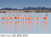 Купить «A row of American flamingos (Phoenicopterus ruber ruber-American Flamingo) in the Rio Lagardos, Mexico», фото № 28309334, снято 11 декабря 2019 г. (c) BE&W Photo / Фотобанк Лори