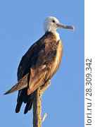 Купить «The Magnificent Frigatebird (Fregata magnificens) at Rio Lagartos Natural Park, Yucatan, Mexico», фото № 28309342, снято 11 декабря 2019 г. (c) BE&W Photo / Фотобанк Лори