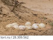 Купить «The North African ostrich eggs in the Yotvata Hai-Bar Nature Reserve, Israel», фото № 28309562, снято 23 января 2019 г. (c) BE&W Photo / Фотобанк Лори