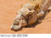 Купить «Local Bedouin's Camel in the desert Wadi Rum, Jordan, Middle East», фото № 28309594, снято 26 июня 2019 г. (c) BE&W Photo / Фотобанк Лори