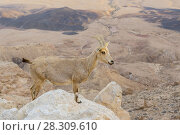 Купить «Wild Nubian ibex (Capra nubiana) on the cliff edge at Ramon Crater in Negev Desert, Israel», фото № 28309610, снято 24 июня 2019 г. (c) BE&W Photo / Фотобанк Лори