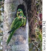 Купить «Yellow-plumed parakeets (Leptosittaca branickii) at nest cavity in wax palm stump, Tapichalaca Biological Reserve, Ecuador.», фото № 28309742, снято 27 мая 2018 г. (c) Nature Picture Library / Фотобанк Лори