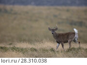 Купить «White-tailed deer (Odocoileus virginianus) buck in paramo, Antisanilla Reserve, Ecuador.», фото № 28310038, снято 2 июня 2020 г. (c) Nature Picture Library / Фотобанк Лори