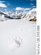 Купить «Tracks of a Snow leopard (Panthera uncia) on a snow-covered slope. Ulley Valley, Himalayas, Ladakh, India.», фото № 28310086, снято 23 мая 2019 г. (c) Nature Picture Library / Фотобанк Лори
