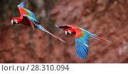 Купить «Red-and-green macaws  (Ara chloropterus) in flight over Buraco das Araras, Jardim, Mato Grosso do Sul, Brazil. September.», фото № 28310094, снято 23 мая 2019 г. (c) Nature Picture Library / Фотобанк Лори