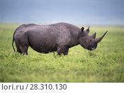 Купить «Black rhino (Diceros bicornis) female browsing on herbs. Ngorongoro Crater, Conservation Area, Tanzania. March.», фото № 28310130, снято 21 марта 2019 г. (c) Nature Picture Library / Фотобанк Лори