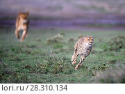 Купить «Lioness (Panthera leo) chasing away Cheetah (Acinonyx jubatus) Serengeti / Ngorongoro Conservation Area (NCA) near Ndutu, Tanzania.», фото № 28310134, снято 26 апреля 2018 г. (c) Nature Picture Library / Фотобанк Лори