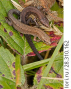 Купить «Common lizard (Lacerta vivipara), two young basking, Herefordshire, England, UK, September.», фото № 28310162, снято 23 мая 2018 г. (c) Nature Picture Library / Фотобанк Лори