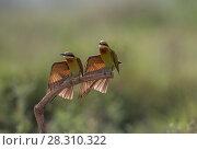 Купить «Blue-tailed bee-eater (Merops philippinus) pair sitting on perch, with a wing stretched, preening in synchronization.  Near Ranganathittu Bird Sanctuary, Karnataka, India.», фото № 28310322, снято 22 апреля 2018 г. (c) Nature Picture Library / Фотобанк Лори