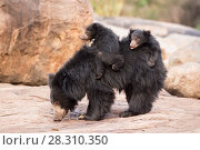 Купить «Sloth bear (Melursus ursinus) cubs riding on mothers back, Daroiji Bear Sanctuary, Karnataka, India.», фото № 28310350, снято 21 июля 2018 г. (c) Nature Picture Library / Фотобанк Лори