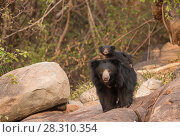 Купить «Sloth bear (Melursus ursinus) mother with cub riding on her back, Daroiji Bear Sanctuary, Karnataka, India.», фото № 28310354, снято 21 июля 2018 г. (c) Nature Picture Library / Фотобанк Лори