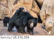 Купить «Sloth bear (Melursus ursinus) mother with cubs, with one on her back, Daroiji Bear Sanctuary, Karnataka, India.», фото № 28310358, снято 21 июля 2018 г. (c) Nature Picture Library / Фотобанк Лори
