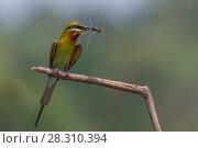 Купить «Blue-tailed bee-eater (Merops philippinus) sitting on perch with insect prey, near Ranganathittu Bird Sanctuary, Karnataka, India.», фото № 28310394, снято 15 августа 2018 г. (c) Nature Picture Library / Фотобанк Лори
