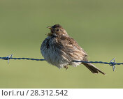 Купить «Corn bunting (Miliaria calandra) singing from a barbed wire fence. Alentejo, Portugal, March.», фото № 28312542, снято 24 мая 2018 г. (c) Nature Picture Library / Фотобанк Лори
