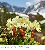 Купить «Цветет рододендрон золотистый», фото № 28312586, снято 21 июня 2016 г. (c) А. А. Пирагис / Фотобанк Лори