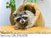 Купить «Забавный енот смотрит на зрителя», фото № 28316078, снято 25 августа 2017 г. (c) Pukhov K / Фотобанк Лори
