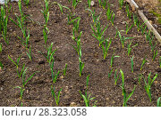 Купить «Грядка озимого чеснока (лат. Alliaceae)», фото № 28323058, снято 26 апреля 2015 г. (c) Ольга Сейфутдинова / Фотобанк Лори