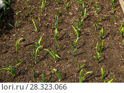 Купить «Грядка озимого чеснока (лат. Alliaceae)», фото № 28323066, снято 26 апреля 2015 г. (c) Ольга Сейфутдинова / Фотобанк Лори