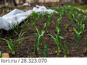 Купить «Грядка озимого чеснока (лат. Alliaceae)», фото № 28323070, снято 26 апреля 2015 г. (c) Ольга Сейфутдинова / Фотобанк Лори